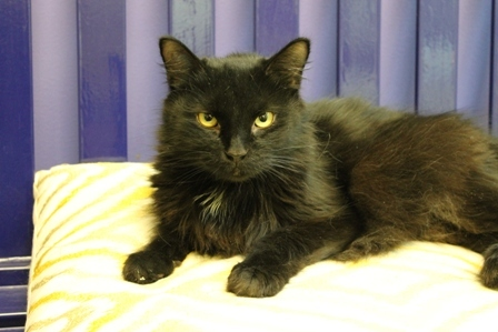 Richmond SPCA Giuseppe Adopt a Shelter Cat!